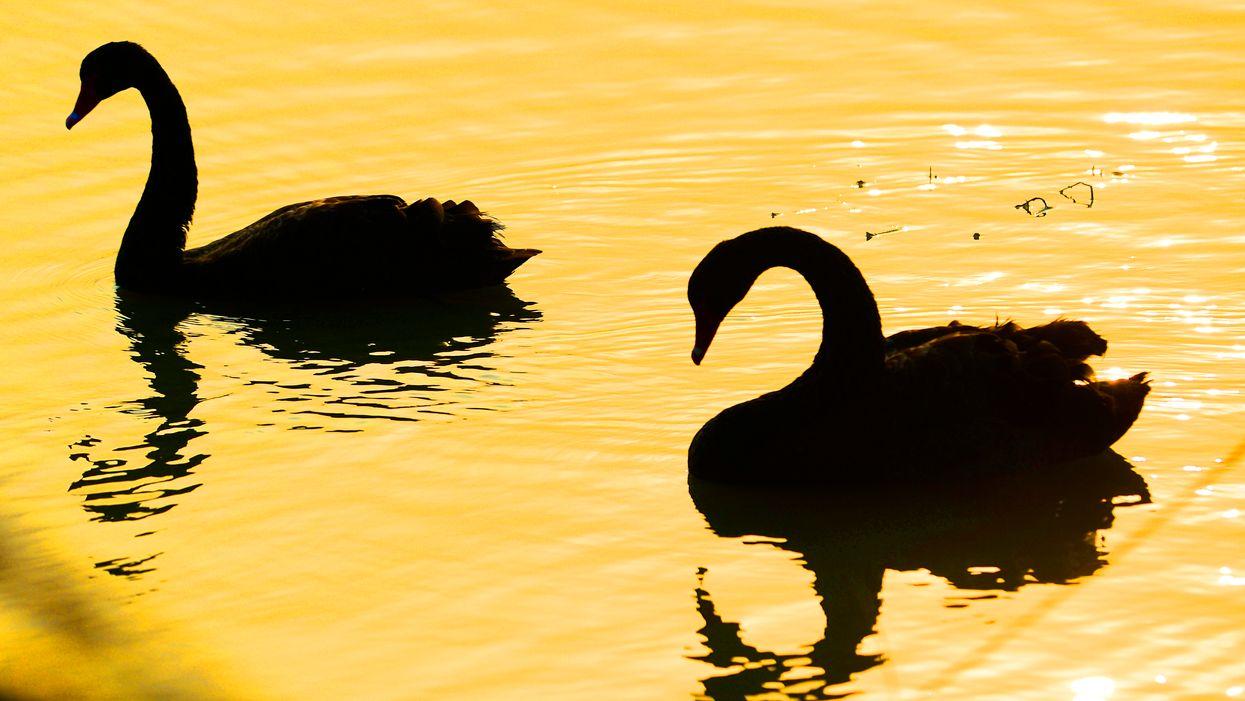 Black swans in water
