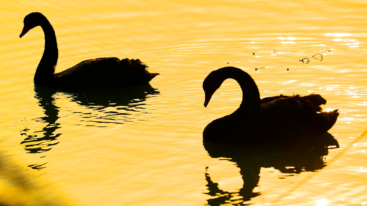 Black swans in water