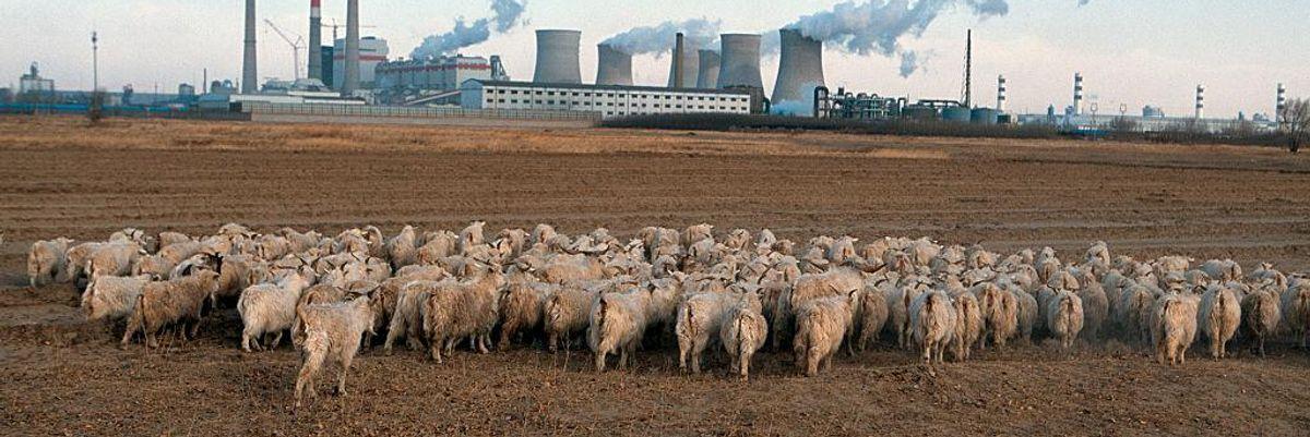 Sheep graze on a farm next to a large coal power plant in Baotou, Inner Mongolia
